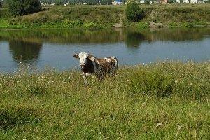В Оренбургской области бык мешал приставу арестовать стадо коров