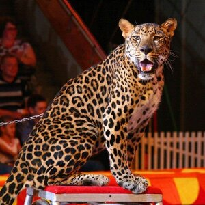 ЧП в московском цирке: леопард напал на ребенка в фойе