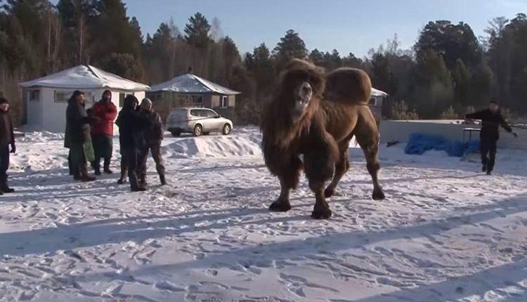 Бурятские шаманы сожгли пять верблюдов «для укрепления России». ВИДЕО