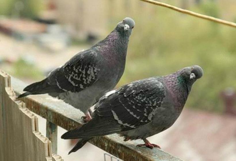 Летите, голуби, летите… в квартире вам не место