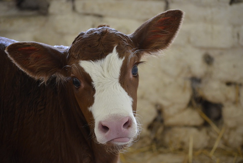 На Урале появилась штрафстоянка для коров