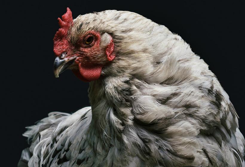 В обнинском курином фарше «Домашний» не нашли мясо птицы