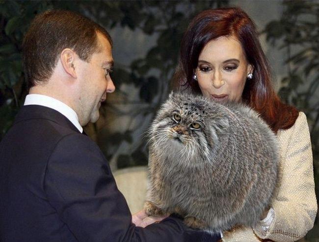 Медведев открыл подвальный продух вовсе не для кошек !
