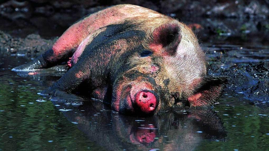 Свинские разборки со стрельбой и участковым