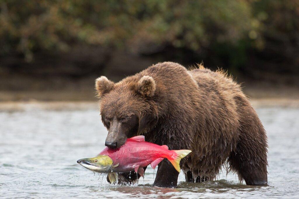 большой картинки камчатский медведь большие собаки длинной