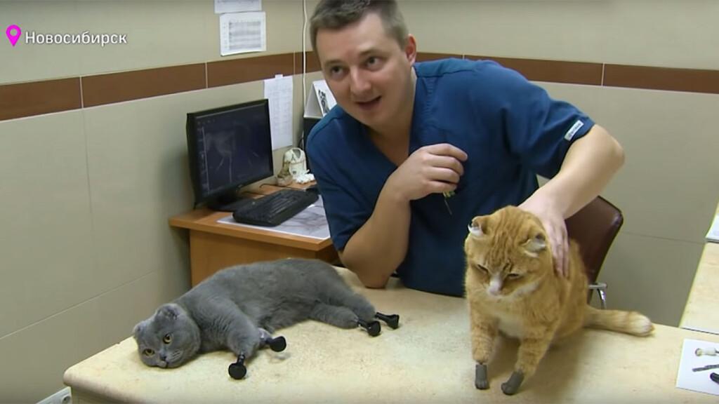 Бионическая русская кошка стала второй в мире, получившей 4 протеза конечностей.