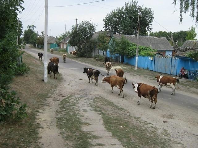 Почему деревенские жители перестают держать скот