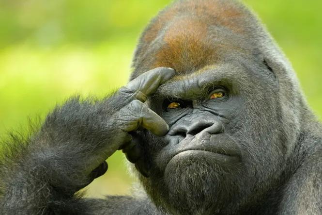 Почему обезьяны сегодня не эволюционируют в людей